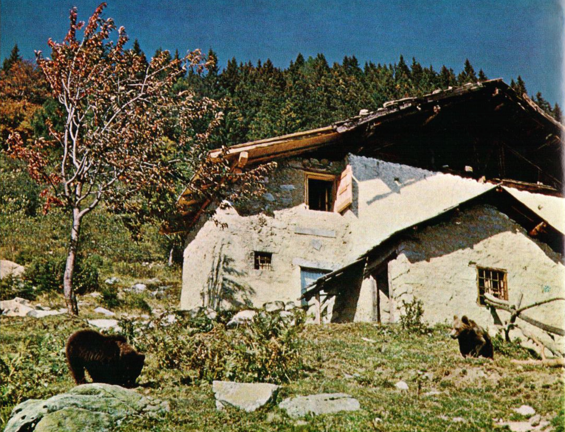 Cavria with bears in the 1950s