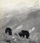 Bears with Grostè in the distance