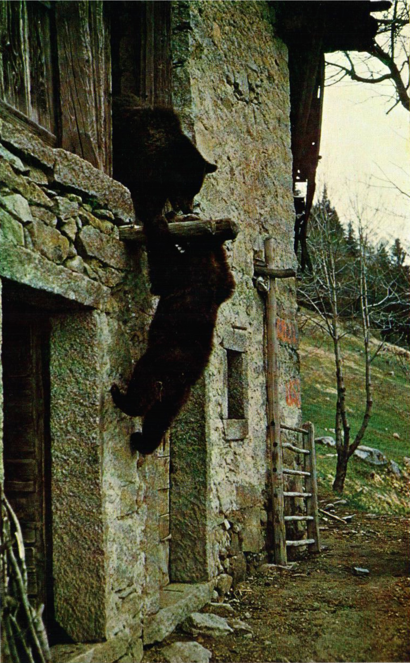 Bears playing in Cavria